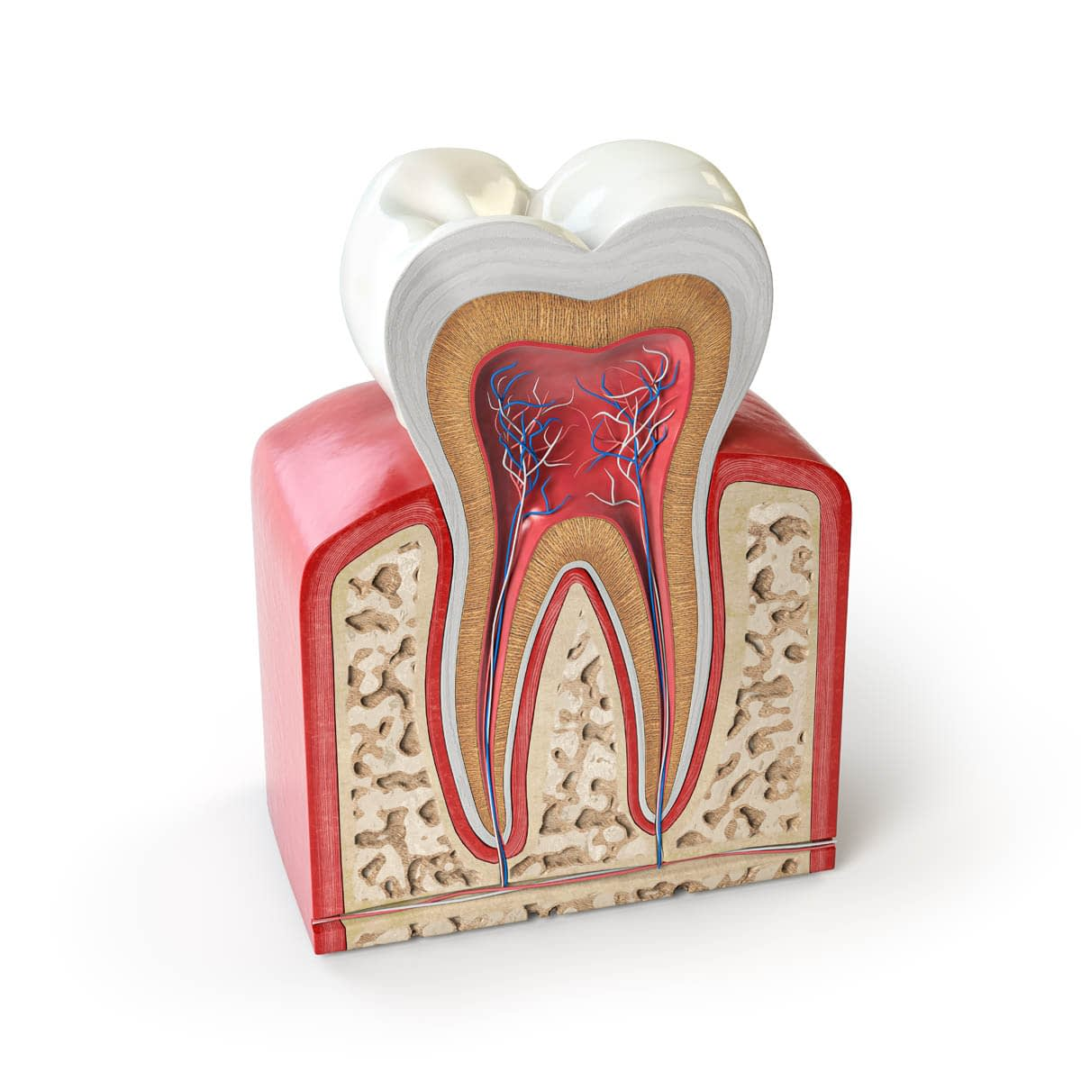 Dental tooth anatomy. Cross section of human tooth isolated on w